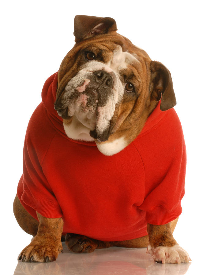 bigstock-Bulldog-In-Red-Sweater-4639834.jpg
